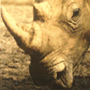 Turkey Rhino